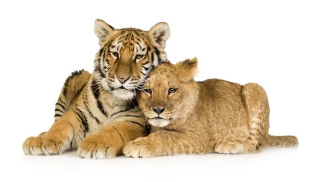 Happy Couple: Tigers